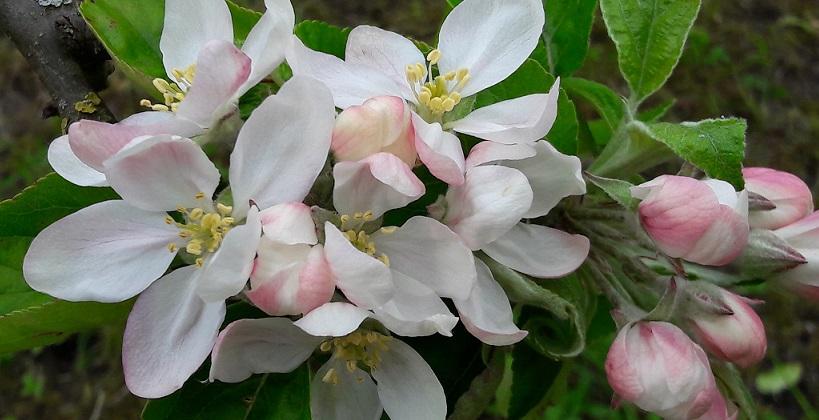 Apfelblüte erleben - mobil & mittendrin macht es möglich!
